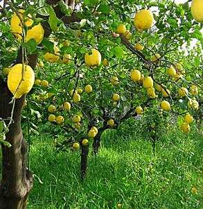 Lemon groves in Sicily